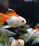 Goldfish-anf-Koi